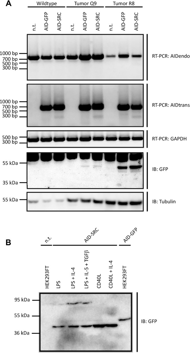 AID splicing in primary mouse B cells and mouse CLL cells. Primary mouse B cells were stimulated with (A) LPS/IL-4 or (B) as indicated and retrovirally transduced with the indicated pMx-based vectors. (A) RT-PCR was performed to amplify endogenous AID (AIDendo) or retrovirally expressed AID-SRC (AIDtrans). As control, RT-PCR of endogenous GAPDH was carried out. In a separate experiment, whole cell lysates of transduced mouse cells were subjected to immunoblotting (IB, lower panel). Transgenic AID was detected using GFP-specific antibodies. Detection of tubulin was used as a loading control. Data are representative of two independent experiments. (B) Immunoblot on lysates from WT mouse B cells were stimulated as indicated and retrovirally transduced with pMxAID-SRC using GFP-specific antibodies. AID-FL bands serve as loading controls. HEK293FT n.t. lane represents negative control to detect nonspecific binding of GFP antibodies. Data are from one experiment.