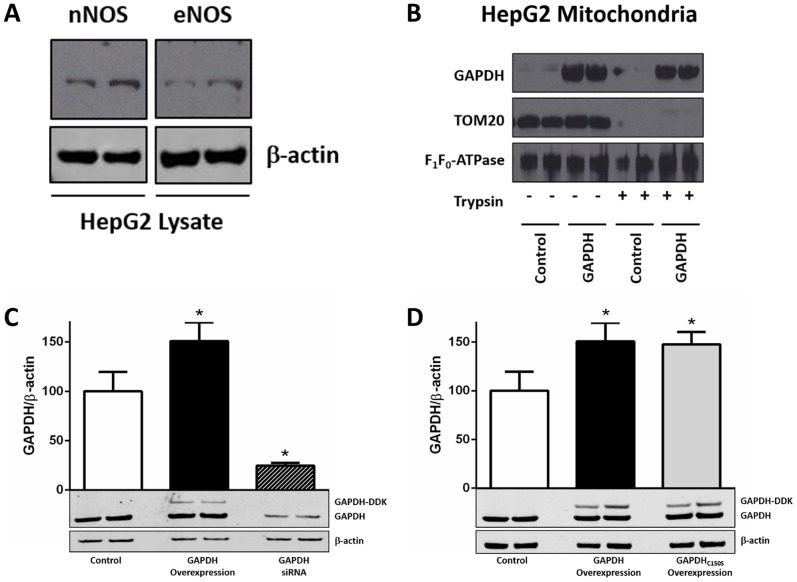 HepG2 cell line as a model system for examining GAPDH as a trans-S-nitrosylase. ( A ) Expression of neuronal and endothelial isoforms of NO synthase in HepG2 cells. Representative western blots are shown for neuronal (top right) and endothelial (top left) NO synthase and β-actin (lower). ( B ) Mitochondrial GAPDH protein levels were assessed after the addition of purified GAPDH to isolated HepG2 mitochondria. Representative western blots for GAPDH (upper), TOM20 (center), and the α subunit of F 1 F 0 -ATPase (lower) in HepG2 mitochondria. Control: non-treated mitochondrial control; GAPDH: purified GAPDH treated mitochondria; (n = 3). ( C ) and ( D ) Hep2G cells were transfected with either a control GFP plasmid or siRNA scramble, a plasmid encoding DDK-tagged GAPDH for overexpression, a GAPDH siRNA for knock-down, or a plasmid encoding DDK-tagged GAPDH C150S for overexpression. Representative western blots are shown together with the densitometry of GAPDH normalized to β-actin for total GAPDH (upper; GAPDH, GAPDH-DDK, GAPDH C150S -DDK) and β-actin (lower; *p