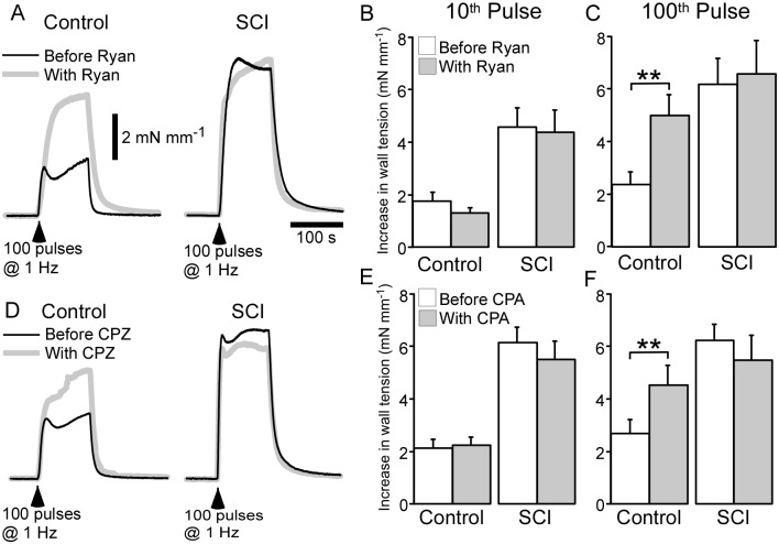 Both ryanodine (Ryan; 10 µM) and cyclopiazonic acid (CPZ; 1 µM) increased the amplitude of nerve-evoked contractions in arteries from sham-operated rats (control arteries) but not in those from spinal cord injured rats (SCI arteries). ( A, D ) Averaged traces showing contractions to 100 pulses at 1 Hz in control ( left traces ) and SCI arteries ( right traces ) before ( black line ) and during ( grey line ) application of ryanodine ( A ) or CPZ ( D ). ( B, C, E, F ) Increases in wall tension measured at the 10 th ( B, E ) and 100 th pulse ( C, F ) during the trains of stimuli in control ( n = 6) and SCI ( n = 6) arteries before ( white bars ) and during ( grey bars ) application of ryanodine ( B, C ) or CPZ ( E, F ). Data are presented as means and SEs and statistical comparisons were made with paired t -tests. ** P