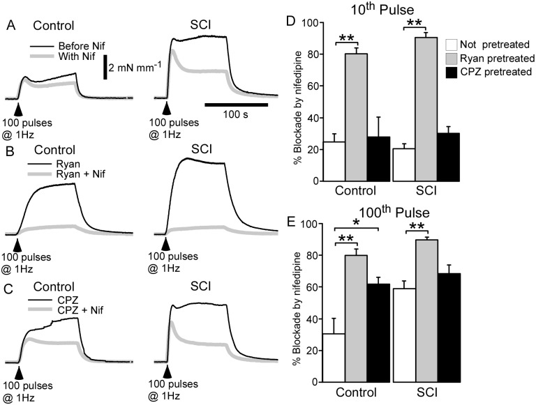 Both ryanodine (Ryan; 10 µM) and cyclopiazonic acid (CPZ; 1 µM) increased the blockade of nerve-evoked contractions produced by nifedipine (Nif; 1 µM) in arteries from sham-operated rats (control arteries). By contrast, only ryanodine increased the blockade of nerve-evoked contractions produced by nifedipine in arteries from spinal cord injured rats (SCI arteries). ( A–C ) Averaged overlaid traces showing contractions to 100 pulses at 1 Hz in control ( left traces ) and SCI arteries ( right traces ) in absence ( A ; black line ) or in the presence of ryanodine ( B ; black line ) or CPZ ( C ; black line ) and following addition of nifedipine ( grey lines ). ( D, E ) The % blockade of contractions produced by nifedipine at the 10 th ( D ) and 100 th pulse ( E ) during the trains of stimuli in control ( n = 6) and SCI ( n = 6) arteries in the absence ( white bars ) or in the presence of ryanodine ( grey bars ) or CPZ ( black bars ). Data are presented as means and SEs and statistical comparisons were made with unpaired t -tests. * P