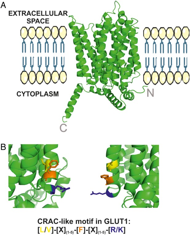 Localization of putative cholesterol-binding motifs in the homology model of human glucose transporter 1 (GLUT1) protein. (A) A homology model of human GLUT1 protein: N-termini and C-termini are indicated and the placement within the plasma membrane is only schematic. (B). Putative cholesterol recognition/interaction amino acid consensus (CRAC)-like motifs in GLUT1: aa 83–89 (VGLFVNR, left) and aa 322–330 (VVSLFVVER, right).