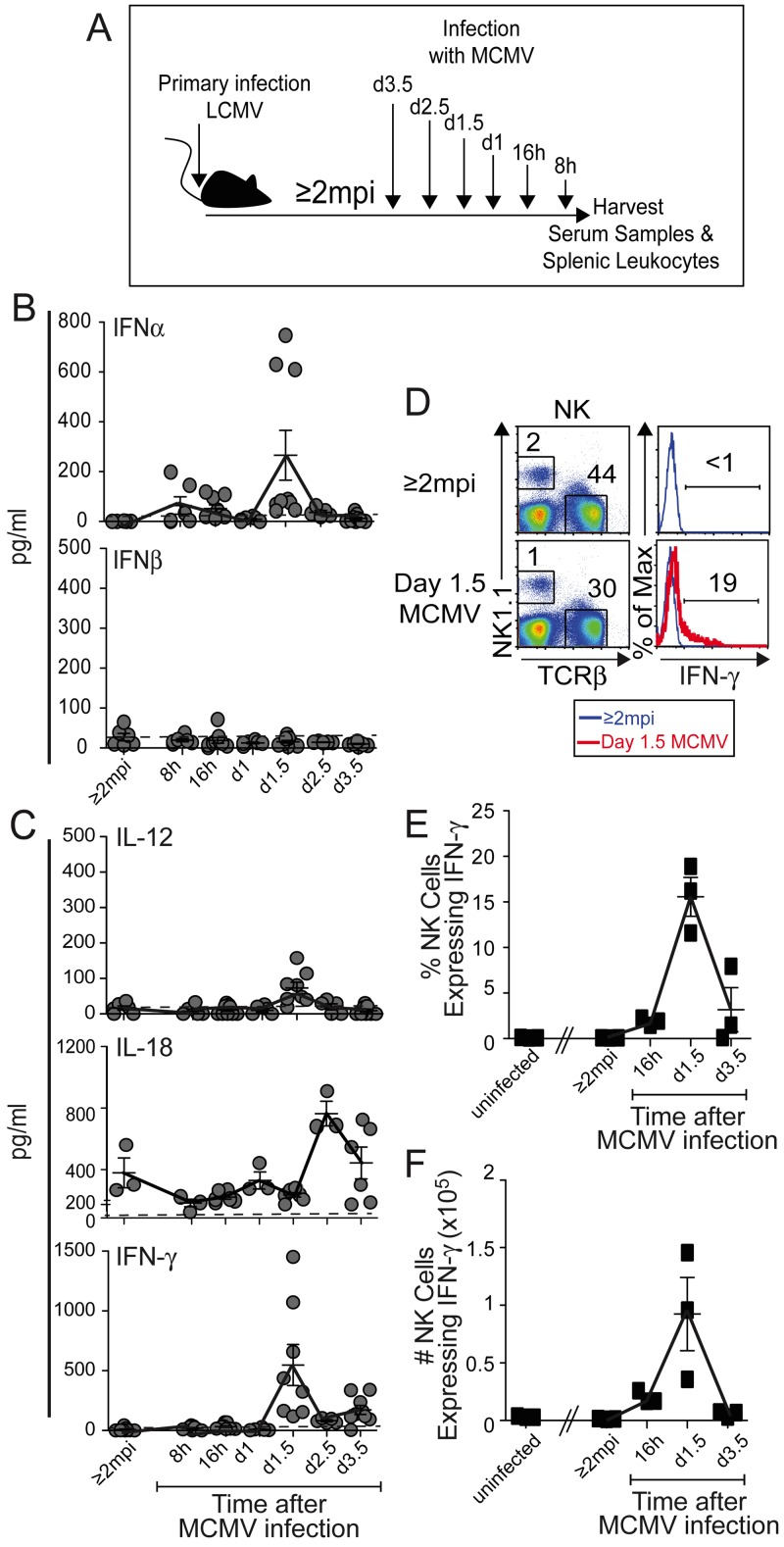 Innate cytokine responses in serum and NK cells during primary MCMV infections of LCMV-immune mice. Serum and splenic leukocyte samples were collected from LCMV-immune (≥2 mpi) mice and from LCMV-immune mice after a primary i.p. infection with 10 to 15,000 PFU MCMV at 8 h, 16 h, 1 day, 1.5 days, and 3.5 days before harvest as indicated (A). Circulating levels of IFN-α and IFN-β (B) and IL-18 (C) were measured by ELISA, and those of IL-12 and IFN-γ (C) were measured by CBA, as described in Materials and Methods. The samples were collected from three independent experiments. The means are connected by solid lines. The limit of detection by the assays is indicated by the dashed line. (D) Splenic leukocytes were analyzed for NK1.1 + TCRβ − NK cell populations expressing intracellular IFN-γ. The IFN-γ proportions and yields of NK1.1 + TCRβ − NK cells were determined after 4 h of ex vivo incubation in brefeldin without further stimulation. Representative staining of single samples is shown as plots (D) with histograms of IFN-γ staining within NK cells from uninfected LCMV-immune (≥2 mpi) (blue line) or day 1.5 MCMV-challenged (red line) LCMV-immune mice presented. The percentages (F) and yields (G) of NK cells expressing IFN-γ are shown. Symbols represent results from individual mice with three to nine samples from multiple experiments (B, C) or three mice per group in one experiment (D to G) used for each time point shown. Means ± SEMs (error bars) are shown. Mean NK cell percentages and IFN-γ expression values are connected by solid lines.