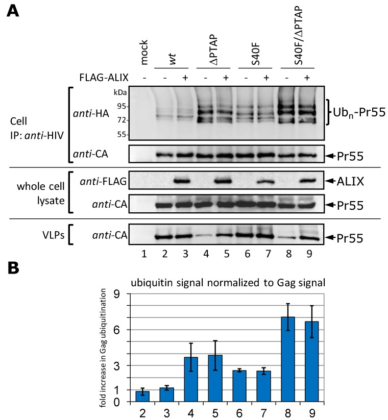 Overexpression of ALIX increases virus release but has no influence on Gag ubiquitination. ( A ) HeLa cells were co-transfected with HA-tagged ubiquitin, pΔR constructs as indicated, and either with, or without, FLAG-ALIX plasmid. Gag processing was inhibited by the addition of the PR-inhibitor Ritonavir. For detection of ubiquitinated Gag species, Gag was precipitated from whole cell lysates by immunoprecipitation using anti- HIV antibodies, and ubiquitin was detected by anti- HA staining. VLPs were pelleted from the supernatant and the amount of Gag released as VLPs was detected by anti- CA staining; ( B ) Evaluation of three independently performed experiments. Bars represent the arithmetic mean ± SD. The numbering is according to (A).
