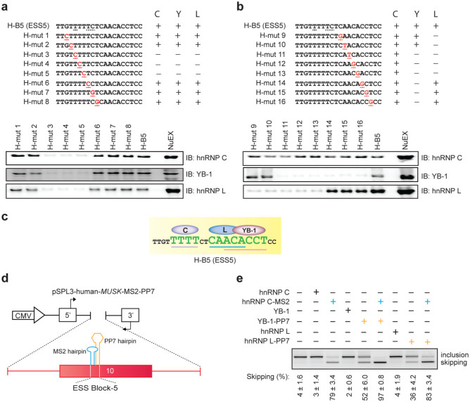 """Binding of hnRNP C, YB-1, and hnRNP L to specific motifs enhances coordinated skipping of MUSK exon 10. (a, b) Scanning mutagenesis to map the binding motifs of hnRNP C, YB-1, and hnRNP L in ESS5 (H-B5). RNA probe sequences are shown in the upper panels, where discordant nucleotides between human and mouse are underlined in H-B5 (ESS5). Artificial mutations are shown in red. RNA affinity-purified products are detected by immunoblotting in the lower panels. The results are indicated on the right side by """"+"""" and """"−"""" for positive and negative binding to each probe, respectively. (c) The resulting binding site of each factor from panels (a) and (b) is schematically shown. Essential binding nucleotides are indicated by large green letters and are underlined. (d) Schematic of a reporter minigene (pSPL3-human- MUSK -MS2-PP7). MS2 coat protein-binding hairpin RNA (blue) is substituted for the first half of ESS5 (binding site of hnRNP C). Similarly, PP7 coat protein-binding hairpin RNA (orange) is substituted for the second half of ESS5 (binding sites of hnRNP L and YB-1). (e) RT-PCR of pSPL3-human- MUSK -MS2-PP7 minigene in HeLa cells that are co-transfected with the indicated effectors. Blue and orange letters match to those in (d). The mean and SD ( n = 3) of the ratio of exon skipping in each treatment is shown below the gel image."""