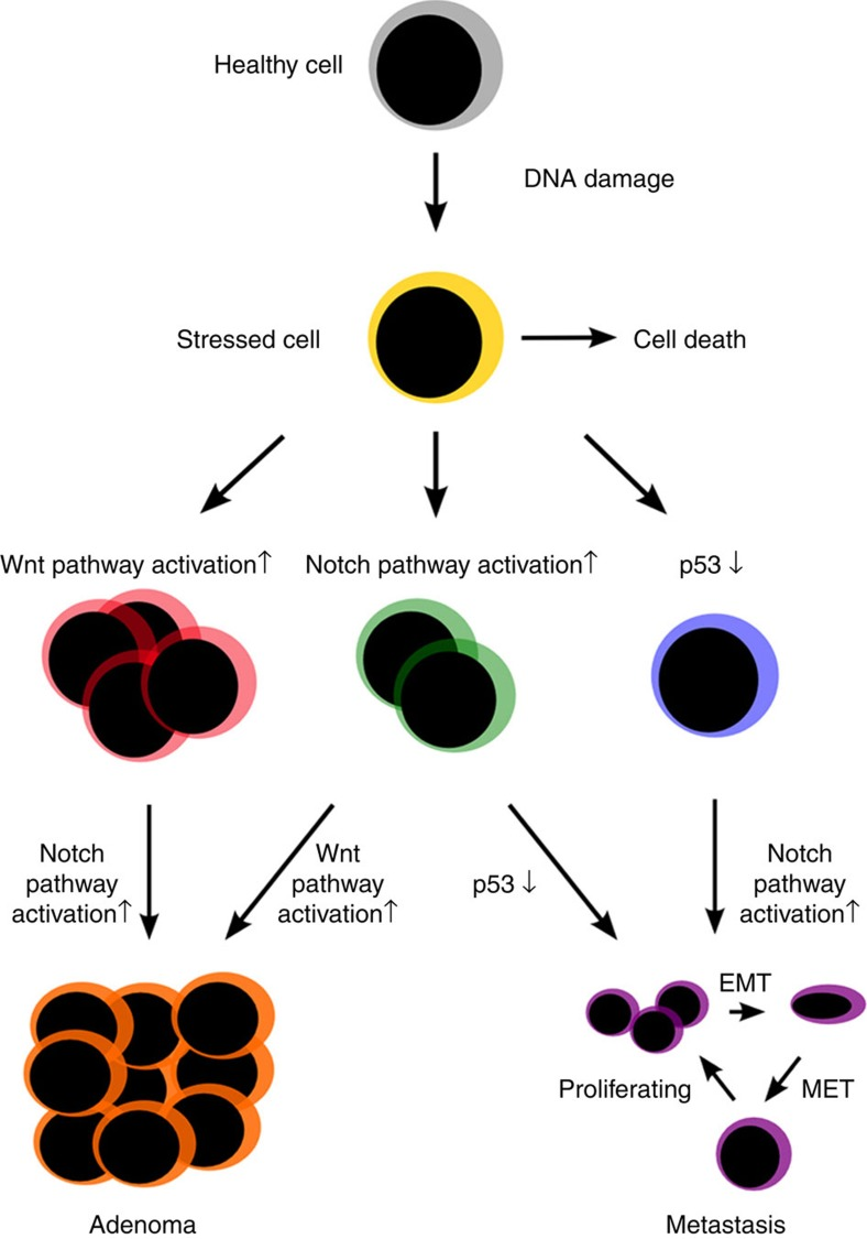 Schematic representation of phenotypes observed in single and double mutants. When DNA damage occurs in a healthy cell, the cell can undergo apoptosis if the damage is severe enough. If another mutation then occurs, this can lead to different cell phenotypes depending on the kind of mutation: Apc loss-of-function mutation, as well as Notch activation will give rise to increased proliferation. A p53 loss-of-function mutation will give rise to a cell phenotype that is able to survive, as apoptosis can no longer be induced by p53. A sequential mutation will lead to either adenoma or metastases depending on the preceding mutation. MET: mesenchymal epithelial transition. The predicted phenotypes have been confirmed by experiments.