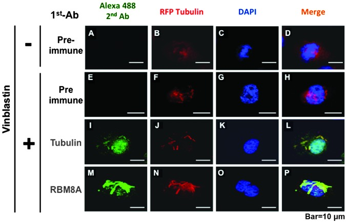 Overlapping RFP-Tubulin immunostaining. RFP-Tubulin was introduced into the A549 cells, which were immunostained with either an anti-tubulin antibody or an anti-RBM8A antibody and appropriate secondary antibodies conjugated with Alexa 488. Images were acquired using an Axiovert 200M microscope. Bar = 10 μm.