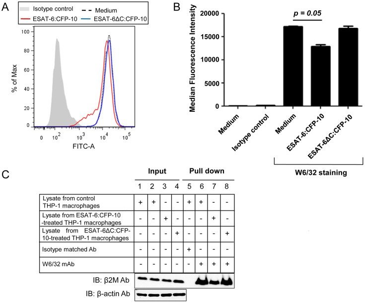 Soluble ESAT-6:CFP-10 reduces surface levels of β2M-associated HLA class I molecules. (A) PMA-differentiated THP-1 macrophages were treated with 12.5 µM of either ESAT-6:CFP-10 or ESAT-6ΔC:CFP-10 protein for 2 hours. Cells were stained with (W6/32) mAb followed by FITC conjugated anti-mouse secondary Ab. Expression of surface β2M conjugated HLA class I molecules was studied by flow cytometry. Isotype-matched Ab was used as control. (B) Median fluorescence intensities of different experimental groups of Figure 7A were calculated and the results are shown as mean ± SD of 3 different experiments. (C) THP-1 macrophages were either left untreated (control) or treated with 12.5 µM of ESAT-6:CFP-10 or ESAT-6ΔC:CFP-10. After 2 hours, cell were harvested and lysates were prepared. Equal amount of protein from each experimental group was incubated with W6/32 mAb bound to protein A/G agarose. Isotype matched Ab was used as control. Pulled-down complexes (Lanes 5–8) were resolved on a 15% glycine SDS-PAGE and transferred onto a nitrocellulose membrane which was probed with anti-β2M Ab. About 10% of the lysate was used as input controls (Lanes 1–4, upper panel). Equal loading in the input samples was also confirmed by probing the input controls with anti-β-actin Ab (Lanes 1–4, lower panel).