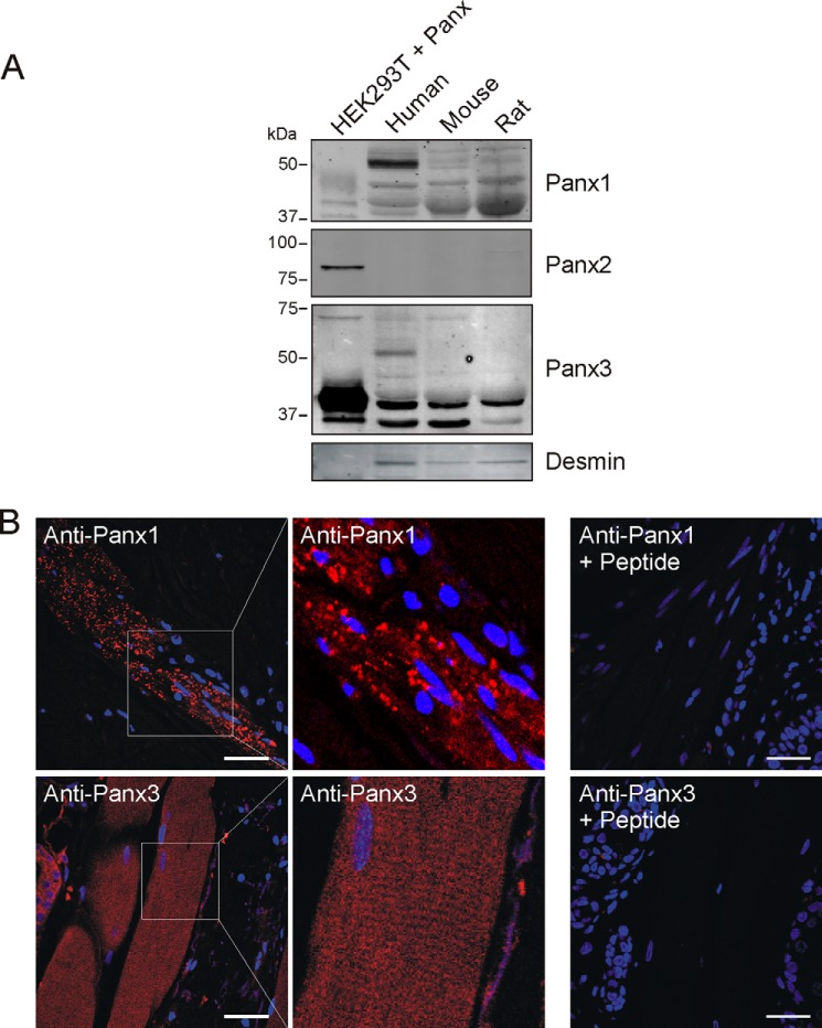 Panx1 and Panx3 are expressed in the <t>skeletal</t> <t>muscle</t> tissue. A , expression of Panx1, Panx2, and Panx3 proteins in <t>adult</t> <t>human,</t> mouse, and rat skeletal muscle <t>whole</t> tissue <t>lysates</t> was analyzed by Western blotting. Various molecular weight species of Panx1 and Panx3 were expressed, whereas Panx2 was absent or below detectable levels. HEK293T cells transfected with Panx1, Panx2, or Panx3 were used as positive controls. Desmin is a muscle-specific protein. B , human skeletal muscle tissue in skin samples was labeled for Panx1 (labeled in red ) and Panx3 (labeled in red ). Representative images are shown. Panx1 was detected as a punctate stain, whereas Panx3 was observed as diffuse labeling. Higher magnification micrographs of Panx3 labeling show a striated pattern. Peptide competition revealed loss of specific staining. Blue = nuclei; bars = 50 μm.