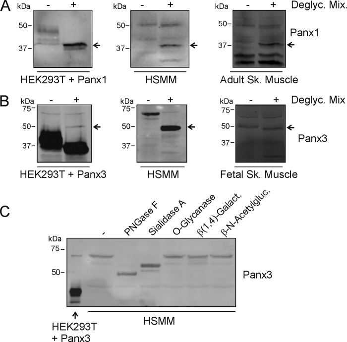 Treatment with N -glycosidase F and sialidase A alter the electrophoretic motility of the ∼70-kDa immunoreactive species of Panx3. A , deglycosylation using a mix of enzymes ( N -glycosidase F, O -glycanase, neuraminidase (sialidase), β(1,4)-galactosidase, and β- N -acetylglucosaminidase) caused a shift in electrophoretic mobility ( arrow ) of the higher M r form of Panx1 (∼50 kDa) expressed in differentiated HSMM and adult skeletal muscle tissue, similar to Panx1 transfected in HEK293T cells. B , incubation with that same mix of deglycosylation enzymes also caused a shift in the electrophoretic motility ( arrow ) of the ∼70-kDa immunoreactive species of Panx3 expressed in undifferentiated HSMM and human fetal skeletal muscle tissue and to the lower M r form of Panx3 transfected in HEK293T cells. C , treatment with N -glycosidase F ( PNGase F ) and sialidase A independently resulted in a shift in the electrophoretic mobility of the ∼70-kDa immunoreactive species of Panx3 in HSMM but not with O -glycanase, β(1–4)-galactosidase, or β- N -acetylglucosaminidase.