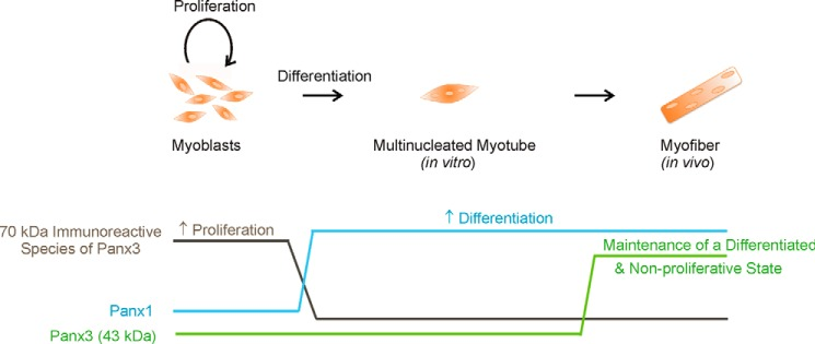 Panx1 and Panx3 levels are modulated during skeletal muscle myoblast differentiation and regulate this process as well as myoblast proliferation. Proliferative undifferentiated skeletal muscle myoblasts express high levels of the ∼70-kDa immunoreactive species of Panx3, whereas its lower M r species or Panx1 were very low. Its levels were drastically diminished during differentiation, suggesting that the ∼70-kDa immunoreactive species of Panx3 may play a role in keeping undifferentiated skeletal muscle myoblasts in a proliferative state. On the other hand, the levels of the low M r form of Panx3 are very low in skeletal muscle myoblasts in culture, slightly detected in fetal skeletal muscle tissue, and further increased in the adult. Its expression promotes human skeletal muscle myoblast differentiation and inhibits their proliferation. Altogether, our data suggest that the lower M r species of Panx3 play a role in maintaining differentiated myoblasts in a differentiated and non-proliferative state. As for Panx1, its protein levels were drastically augmented during skeletal muscle myoblast differentiation and promote this process independently of cell proliferation.