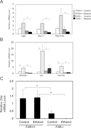 Ethanol-induced FoxO3a-mediated transcription of autophagy related and FoxO3a target genes were inhibited in FXR KO mouse livers. Age matched WT and FXR KO mice were treated with 4.5 g/kg ethanol or water by gavage for 16 h. Hepatic mRNA was isolated and qRT-PCR was performed for autophagy related genes, Atg5 , Becn-1 , and MAP1LC3B (A) and FoxO3a target genes, MnSOD , p21 , and FoxO3a (B). qRT-PCR was also performed for FXR target gene, Shp (C). The gene expression levels were normalized to β-actin and shown as fold increase over wild type mice ( n =4–7). * p