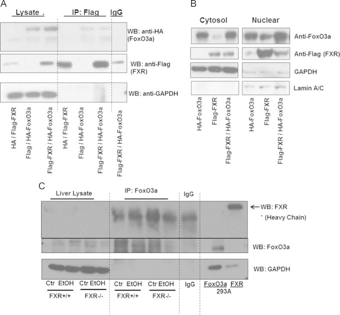 FXR and FoxO3a did not interact in vitro or in vivo. HEK 293A cells were transfected with plasmids containing flag-FXR, HA-FoxO3a, HA or flag. Total cell lysates were isolated, and flag was pulled down by immunoprecipitation and subjected to immunoblot analysis for flag and HA. Input total lysates from transfected HEK 293A were used as positive controls for FoxO3a and FXR (A). Cytosol and nuclear fractions were obtained from transfected HEK 293A cells, and immunoblot analysis was performed for flag and FoxO3 (B). Age matched WT and FXR KO mice were treated with 4.5 g/kg ethanol or water by gavage for 16 h. FoxO3a in total liver lysates was pulled down by immunopreciptation and subjected to immunoblot analysis for FXR and FoxO3a (C).