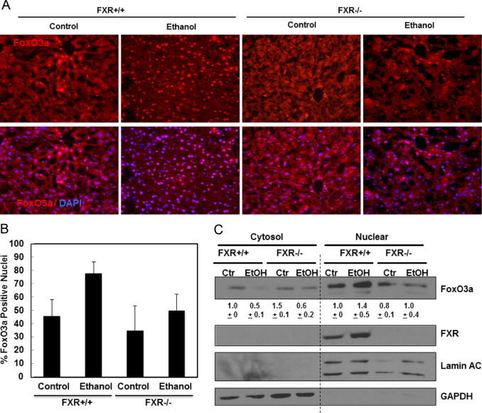 Ethanol-induced FoxO3a nuclear translocation was diminished in FXR KO mouse livers. Age matched WT and FXR KO mice were treated with 4.5 g/kg ethanol or water by gavage for 16 h. Liver cyrosections were immunostained for FoxO3a and Hoechst 33342 for nuclei, and representative images are shown in (A). Nuclei positive for FoxO3a were quantified from at least 3 images (B). Cytosolic and nuclear fractions were isolated from liver and subjected to immunoblot analysis for FoxO3a and FXR (C) densitometry analysis data are presented as a ratio of control ( n =3).