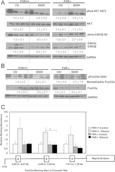 Increased Akt activity and reduced FoxO3a binding in Map1lc3b promoter sites in acute ethanol-treated <t>FXR</t> KO mouse livers. Age matched WT and FXR KO mice were treated with 4.5 g/kg ethanol or water by gavage for 16 h. Total liver lysates were subjected to immunoblot analysis for serine 473 phosphorylated and total AKT, serine 9 phosphorylated and total GSK3β (A), and serine 253 phosphorylated and total FoxO3a (B). Densitometry analysis data are presented as a ratio of control ( n =3–4). Chromatin immunoprecipitation using FoxO3a antibody was performed to probe the three putative FoxO3a binding sites in Map1lc3b promoter site. DNA was isolated from chromatin pull-down and qPCR analysis was performed, and data was normalized to input chromatin. Relative binding abundance in comparison to untreated WT control was presented in (C). * p