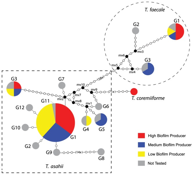 Median-joining genotypes network of T. asahii, T. faecale and T. coremiiforme based on IGS1 rDNA sequences related to biofilm quantitation. Dashed square groups the 12 different genotypes (G1 to G12) of T. asahii . Dashed circle groups the 3 different genotypes of T. faecale . Circumference sizes are proportional to the genotype frequencies. Black dots (mv = median vectors) are hypothetical missing intermediates.