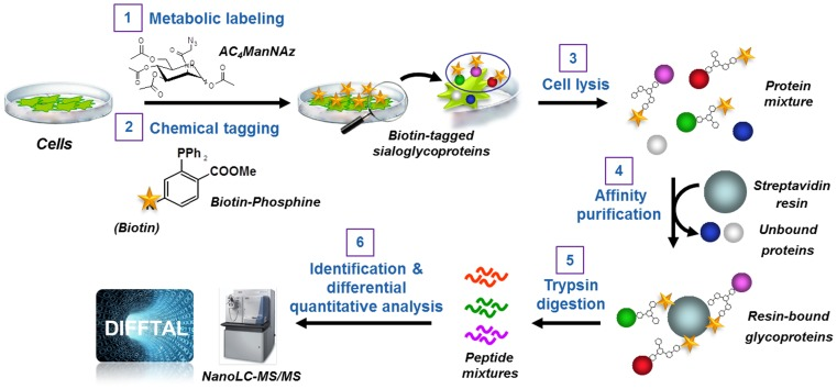 Profiling cell surface sialoglycoproteins via the bio-orthogonal chemical reporter strategy combined with quantitative shotgun proteomics. The strategy consists of six steps: 1) metabolic labeling of cells with Ac 4 ManNAz; 2) chemoselective conjugation of azide-labeled glycans with a biotin-linked phosphine; 3) cell lysis; 4) affinity enrichment of the biotin-tagged proteins on streptavidin-conjugated beads; 5) on-beads trypsin digestion of affinity-captured sialoglycoproteins; 6) identification using high-performance liquid chromatography tandem mass spectrometry (LC-MS/MS) analysis using a nano-LC-LTQ Orbitrap mass spectrometer platform and sequence database searching, and quantitative differential analysis of the sialoglycoproteins using label-free analysis with DIFFTAL (DIFferential Fourier-Transform AnaLysis) software algorithm.