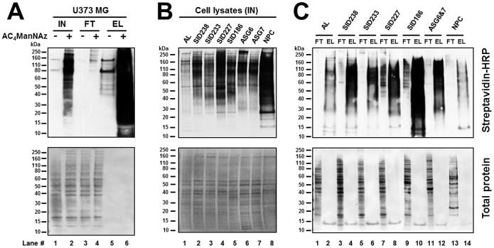Affinity purification of biotinylated cell surface sialoglycoproteins. U373 MG cells, primary GBM cells (SIDs), adult (AL) and fetal (ASG6 and ASG7) astrocytes, and neural progenitor cells (NPC) were metabolically labelled with 25 µM Ac 4 ManNAz for 2 days and conjugated with 50 µM biotin-phosphine capture reagent. Azide-tagged and biotin-conjugated sialoglycoproteins from total cell lysate were captured by streptavidin beads, separated by SDS-PAGE and visualized using streptavidin-HRP conjugate and enhanced chemiluminescence (upper panels). Shown are the results from 5 µg of total cell lysate (Input, IN), 5 µg of the flow through material (FT) that did not bind to the beads, and 5% of the eluted material (EL) from 1 mg (SIDs and AL), 600 µg (ASG6 and ASG7 lysates combined into a single pooled ASG6 7 lysate) and 50 µg (NPC) of protein that bound to the beads. (A) Western blot analysis of U373 MG input, flow-through and eluate fractions. (B) Western blot analysis of SIDs, AL, ASG6, ASG7 and NPC input fractions. (C) Western blot analysis of SIDs, AL, NPC and ASG6 7 flow through and eluate fractions. Prior immunodetection, proteins blotted onto membranes were stained to reveal the total protein expression profile of each sample (lower panels).