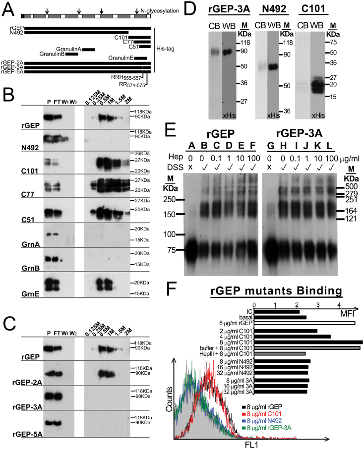 Mapping of heparin-binding domain in GEP and the contribution of the heparin-binding domain in HCC cell surface binding. ( A ) Schematic diagram of GEP protein, rGEP and derivatives and three granulin subunits. The seven and half granulins are shown as grey boxes in the GEP protein. Open arrows represent the N-glycosylation sites identified previously. The locations of rGEP, the deletion mutants (N492, C101, C77 and C51), the derivatives (rGEP-2A, rGEP-3A and rGEP-5A) and three granulin proteins corresponding to the GEP protein are shown. ( B and C ) Immunoblotting after heparin sepharose chromatography. The rGEP, deletion mutants, derivatives and granulin proteins were collected from media of the transfected COS-1. These media (P) were applied to heparin sepharose for incubation. The flow through (FT) was collected after 30min incubation. The sepharose was washed by Tris buffer for twice (W 1 and W 2 ). Elution buffer containing 0.125–2M NaCl was applied sequentially to the sepharose. The recombinant proteins were then detected by anti-His antibody in the immunoblotting. ( D ) Purified rGEP-3A and rGEP derivatives N492 and C101 were analyzed in SDS–PAGE. Protein was stained by Coomassie blue (CB) or detected by anti-His antibody in western blot (WB). ( E ) Polymerization of rGEP is independent of heparin and heparin-binding domain. Different amounts of heparin (0–100 µg/ml) were incubated with the recombinant protein at room temperature with or without DSS cross-linking. The polymerization status of rGEP (lanes A–F) and rGEP-3A (lanes G-L) was assessed by SDS–PAGE analysis and immunoblotting detected by anti-His antibody. ( F ) Indicated amounts of purified rGEP, rGEP-3A, N492 and C101 were incubated with detached Hep3B to compare their binding ability. The binding was then detected by FITC-anti-His antibody. In the case of HS depletion, cells were incubated with heparinase III in lyase buffer at 37°C for an hour before cell detachment. The histogram shows the fluo