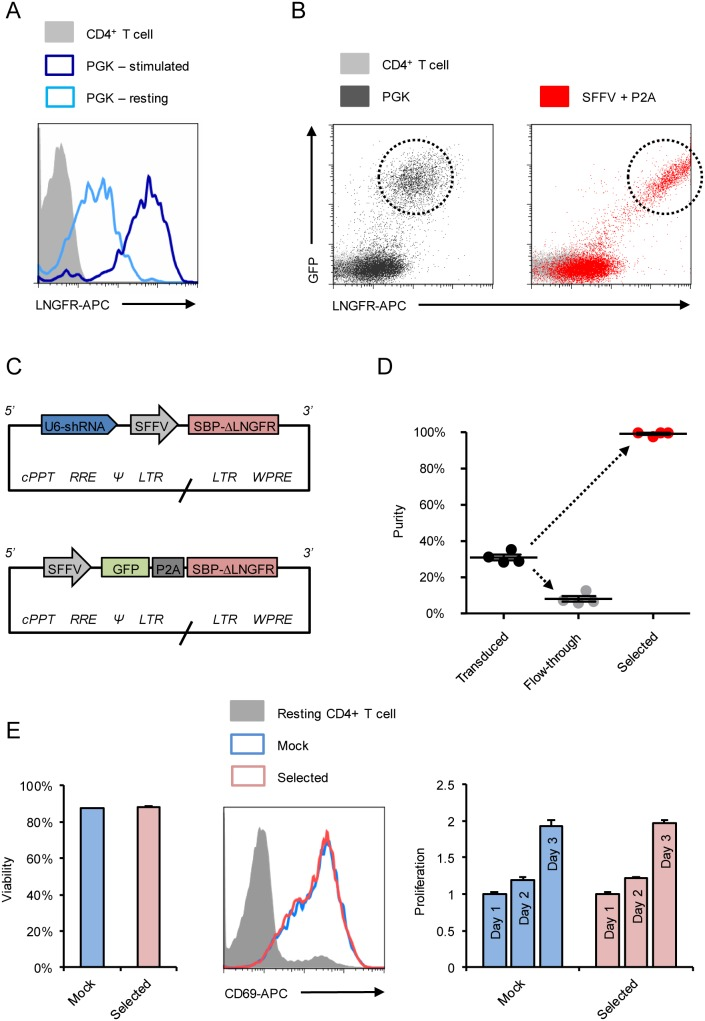 Optimised Antibody Free Magnetic Cell Sorting of primary human CD4+ T cells. Primary human CD4+ T cells were lentivirally transduced with pHRSIREN/β2 m-PGK-SBP-ΔLNGFR-W (encoding shRNA to β2 m and SBP-ΔLNGFR under the PGK promoter) and either rested for 2 weeks (pale blue) or re-stimulated with CD3/CD28 Dynabeads 3 days prior to analysis (dark blue). Cells were co-stained with anti-HLA-A2-PE and anti-LNGFR-APC, and expression levels of SBP-ΔLNGFR compared in HLA-A2-low cells (A). Transduction with pHRSIN-SE-PGK-SBP-ΔLNGFR-W was then compared with pHRSIN-SE-P2A-SBP-ΔLNGFR-W (encoding GFP-P2A-SBP-ΔLNGFR under the SFFV promoter; B). Transduced cells are GFP+/LNGFR-APC+ (dashed circles). Background staining of untransfected/unstransduced controls is shown (grey). Finally, primary human CD4+ T cells were transduced with the optimised pHRSIREN-S-SBP-ΔLNGFR-W and pHRSIN-SE-P2A-SBP-ΔLNGFR-W lentivectors (C) encoding 2 different shRNAs and 2 different exogenous genes. Following selection with Dynabeads Biotin Binder, purity was assessed by staining with anti-LNGFR-PE (D). Each datapoint represents % LNGFR+ for a different construct (shRNA or exogenous gene) and means and SEMs are shown. Viability and functional activity of selected (expressing a control shRNA) and mock (unselected) cells were compared (E). Viability was measured 4 days after selection, and cells either rested or re-stimulated with CD3/CD28 Dynabeads. Resting and re-stimulated cells were stained with CD69-APC (day 2) and enumerated using CytoCount beads (days 1–3). CD69 expression by resting (grey) versus re-stimulated mock (pale blue) and selected (pink) cells is shown. Fold-increases in viable cell numbers following re-stimulation (proliferation) were calculated using day 1 as a baseline. Experiments were conducted in triplicate and means and SEMs are shown. cPPT – central polypurine tract; RRE – Rev response element; * – packaging signal; LTR – long terminal repeat; WPRE – Woodchuck Hepatitis Virus post-transcriptional regulatory element.