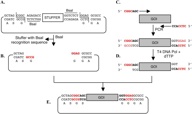 Cloning strategy. The vector contains two appropriately oriented BsaI sites (A) upon digestion with BsaI linearized vector is obtained with ends having 4-base 5′-overhangs (B) shown in red. The recognition sequence of restriction enzyme BsaI are underlined and the cleavage site is marked. The Gene Of Interest (GOI) is amplified using two gene-specific primers with 7-base long additional sequence at the 5′ end (C) shown in bold. Treatment of PCR product with T4 DNA polymerase and dTTP produces two different four-base overhangs that are complementary to two ends of the linearized vector shown in red (D). The ligation results in direction cloning of the insert into the vector (E).