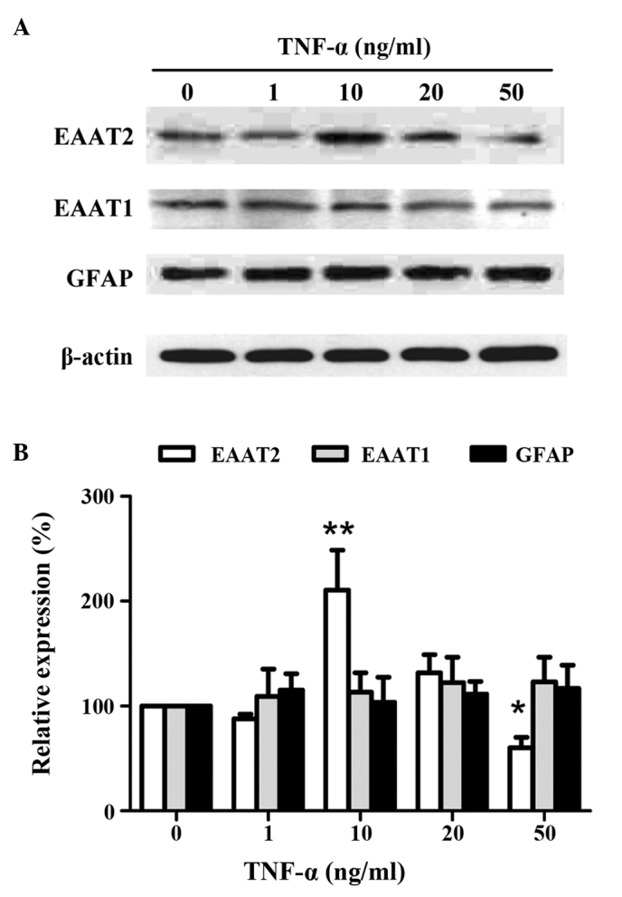 Expression of EAATs in astrocytes treated with different doses of TNF-α. (A) Representative western blot analysis of EAAT1, EAAT2, GFAP and β-actin. (B) Densitometric analysis showing the expression of EAATs or GFAP normalized to β-actin. Data are presented as the mean ± standard deviation (n=5). * P