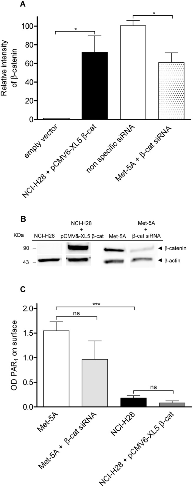 Neither β-catenin rescue nor deletion modify cell surface PAR 1 expression. NCI-H28 cells were transiently transfected with plasmide vector containing CTNNB1 or empty vector (Ctrl) while Met-5A cells were transfected with nonspecific (Ctrls) or specific β-catenin siRNA as described in Materials and Methods. A, relative expression levels of β-catenin. Transfected cells were lysed and total cell proteins were analysed by immunoblot using an anti-β-catenin antibody. Then membranes were reprobed with an anti-β-actin antibody. Data are expressed as arbitrary unit (fold variation over Ctrl) after normalization by β-actin. Data shown are mean ± SEM of three independent experiments. The differences of β-catenin relative levels between Ctrls and cell transfected with the recombinant vector or specific siRNA were significant (*P≤0.05) by one-way ANOVA followed by Bonferroni's multiple comparison test (n = 3). B, a representative immunoblot. C, cell surface PAR 1 expression measured by ELISA assay. Antibody binding to fixed transfected cells was detected by horseradish peroxidise-conjugated secondary antibody. Data represent the mean ± SEM of three independent experiments performed in triplicate. The differences in cell surface PAR 1 expression between Ctrls and cell transfected with the recombinant vector or specific siRNA were significant (***P≤0.001) by one-way ANOVA followed by Bonferroni's multiple comparison test (n = 3).