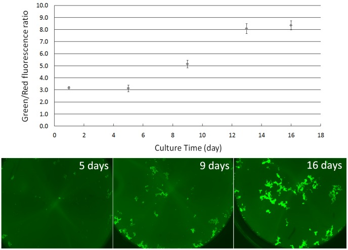 The Green/Red fluorescence ratios of B. burgdorferi biofilm measured by the SYBR Green I/PI assay at different culture times. The top panel shows the increase in Green/Red fluorescence ratios for biofilm growth over time, whereas the lower panel shows the corresponding microscopic images at different time points. All assays were run in triplicate.