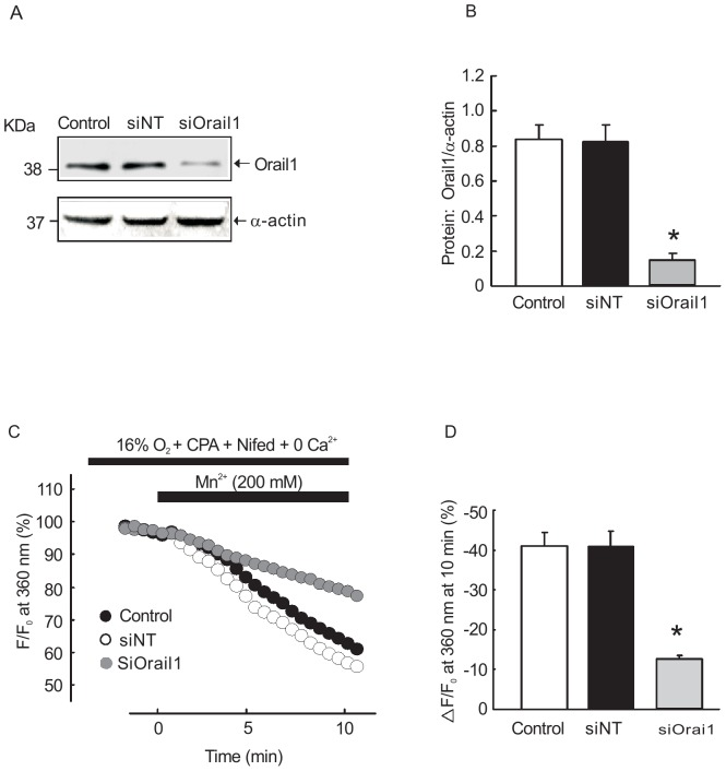 Effects of siOrai1 transfection on basal [Ca 2+ ] i and SOCE in rat PVSMCs. A, B : Western blot showing expression of Orai1 and α-actin protein in rat PVSMC treated with siNT, siOrai1 and transfection vehicle alone (control). E, F : The changes of SOCE in siOrai1, NTsiRNA transfected PVSMCs and transfection vehicle alone treated control. *P