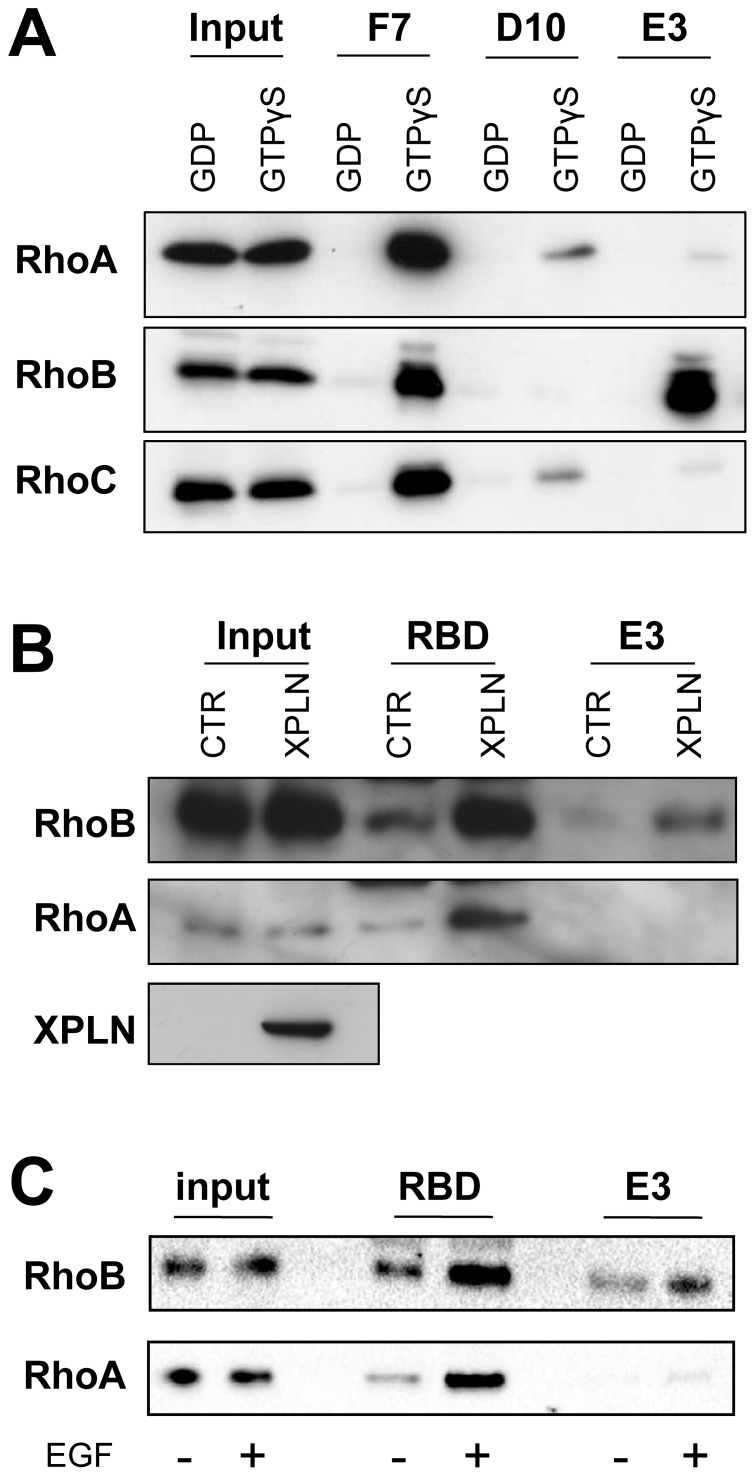 scFvE3 is a selective sensor of RhoB activation in HeLa cells. A, CBD-pulldown experiments on nucleotides loaded HeLa cell extracts showing the specificities of the selected scFvs. HeLa cell extracts were loaded with either GDP (1 mM) or GTPγS (100 µM) and incubated with scFvs F7, D10 and E3 fixed on chitin beads. CBD-pulldowns were analyzed by Western blotting using anti-RhoA, anti-RhoB and anti-RhoC antibodies. Total extract used for CBD-pulldown is indicated as input and examined by western blotting with the same antibodies. Western Blot is representative of 4 independent experiments. B, RhoB and RhoA activation were assessed by GST-pulldown (RBD) and CBD-pulldown (E3) experiments with cell lysate from HeLa cells transiently transfected with plasmids expressing Myc-tagged XPLN or GFP under the control of CMV promotor. XPLN was detected by using an anti-c-myc antibody. C, HeLa cells were serum-starved for 24 h and treated with EGF (2.5 ng/mL) for 10 min before lysis then RhoB and RhoA activation were assessed by GST-pulldown (RBD) and CBD-pulldown (E3) experiments. Beads-bound proteins were analyzed by Western blotting using anti-RhoA and anti-RhoB antibodies. Total cell extracts are indicated as input and examined by western blotting with the same antibodies. Western Blots are representatives of 2 independent experiments.