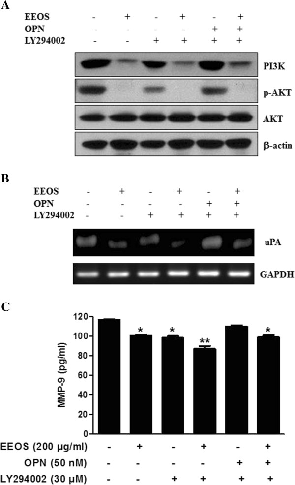 Effect of PI3K inhibitor LY294002 on PI3K signaling and MMP-9 activity in OPN treated NCI-H460 cells. (A) Effect of EEOS and LY294002 on PI3K/Akt signaling in OPN treated NCI-H460. (B) Effect of EEOS and LY294002 on uPA expression in OPN treated NCI-H460 by RT-PCR. (C) Effect of EEOS and LY294002 on MMP-9 activity in OPN treated NCI-H460 by ELISA. Values represent means ± S.D. *P