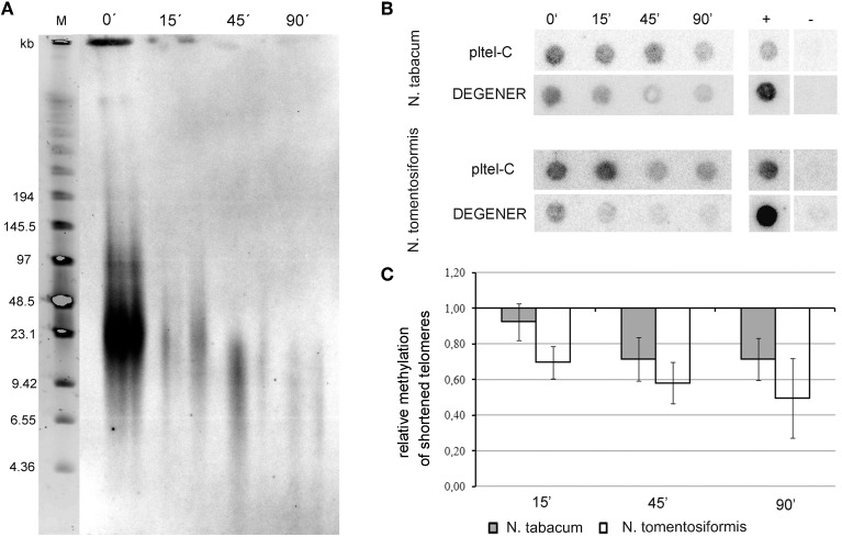 Relative cytosine methylation in telomeres of Nicotiana species. (A) After Bal31 treatment of N. tabacum high molecular weight DNA, TRF analysis was used to control the efficiency of digestion. A loss of the telomere-specific hybridization signal was observed in the course of Bal31 treatment. After 15 min of Bal31 digestion loss of the signal is evident but telomere erosion is not clear, whereas after 45- and 90-min treatments, telomeres were efficiently degraded. Time of Bal31 digestion is given above the lanes. M – DNA size marker. (B) Dot-blot analysis of Bal31-digested DNA from N. tabacum and N. tomentosiformis after treatment with sodium bisulfite. Samples were loaded onto a membrane and hybridized with radioactively labeled probes to detect the total signal of telomeres (loading probe pltel-C complementary to the telomeric G-strand) and the portion of methylated telomeres (DEGENER probe). Time of the Bal31 digestion in minutes is given above the membranes. +, positive hybridization control (tobacco DNA without the bisulfite treatment); −, negative control (DNA from the pUC19 plasmid). (C) Relative density of methylated cytosines along telomeres, calculated as the DEGENER/loading hybridization signals ratio. The ratio in Bal31 non-treated samples was arbitrarily taken as 1. Six independent experiments were performed.