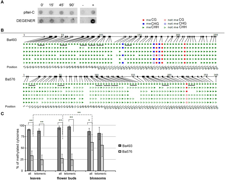 """Methylation of cytosines of B. antipoda telomeric repeats. (A) Analysis of global methylation of cytosines in telomeric repeats of B. antipoda . High molecular weight DNA was treated with Bal31, converted with bisulfite and analyzed by Southern hybridization against loading and DEGENER probes. Signals with the DEGENER probe indicating methylated cytosines in telomeric repeats were obtained in all samples. The time of Bal31 digestion is given above the membranes. +, positive hybridization control (tobacco DNA without the bisulfite treatment); −, negative control (DNA from pUC19 plasmid). (B) An example of bisulfite sequencing data for Ba493 and Ba576 regions in adult leaves. Non-symmetrically located cytosines are depicted as green triangles; full triangle, methylated; empty triangle, non-methylated cytosine. Cytosines located in perfect telomeric repeats are underlined. The first line of the scheme where all cytosines in all sequence contexts are presented as full figures represents position of respective cytosine. (C) Graphical representation of telomeric cytosine methylation within the ITR-containing sequences Ba493 and Ba576. Three tissues were analyzed to reveal possible tissue-specific methylation pattern. """"all,"""" all cytosines located in non-symmetrical sequence context; """"telomeric,"""" cytosines located in perfect telomeric repeats. Data were processed by One-Way independent ANOVA test with standard weighted-means, * is used for P"""