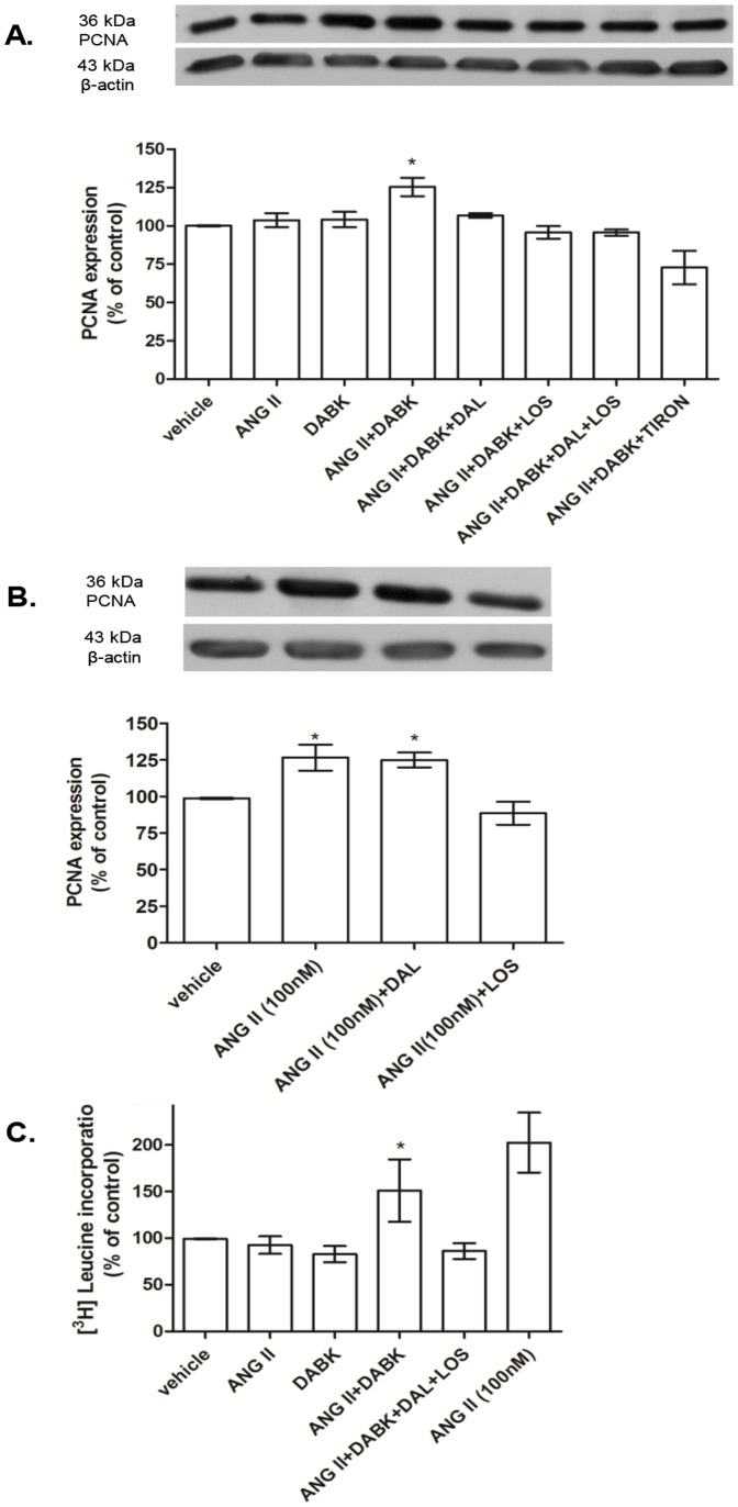 Effects of des-Arg 9 -bradykinin (DABK) and angiotensin II (ANG II) vascular smooth muscle cells (VSMC) growth. [A] Aortic VSMC from Wistar rats treated with ANG II and/or DABK at low concentration (0.1 nM) in the presence or not of losartan (LOS – 10 µM), des-arg9-leu8-bradykinin (DAL – 10 µM) and TIRON (1 mM). Bar graph shows <t>PCNA</t> expression normalized against the housekeeping protein <t>β-actin.</t> Results are represented as mean±SEM of 4 experiments. *P