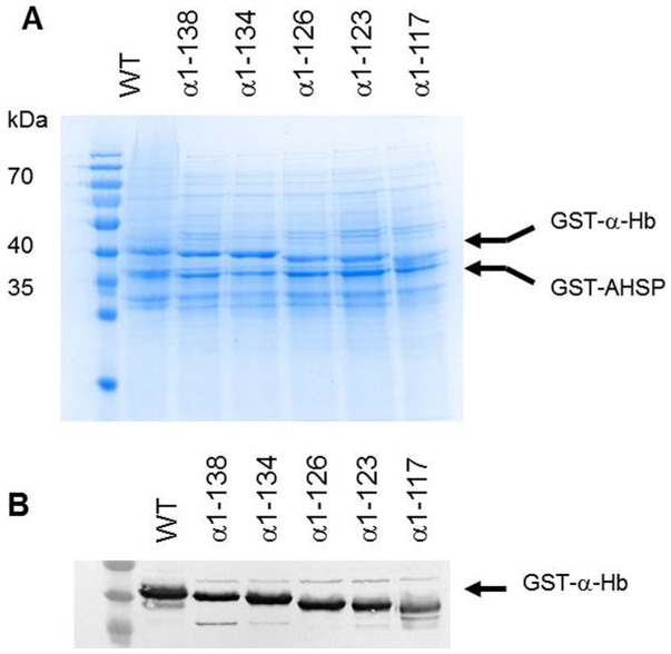 Co-expression of truncated α-Hbs and AHSP WT  in  E.coli  BL21(DE3) cells. After 4 h induction by 0.2 mM IPTG, the  E. coli  cells containing the different pGEX-α-AHSP were lysed and total cell lysates were subjected to SDS-PAGE (12%) analysis (A) and Western Blotting using anti-α globin antibodies (B). All samples were prepared by boiling in SDS loading buffer. In all gels, GST-α-Hb WT  and GST-AHSP WT  are indicated by arrows. PAGE ruler™ prestained protein ladder (Fermentas Thermo Fisher Scientific, Waltham, MA, USA) was analyzed in the first lane.