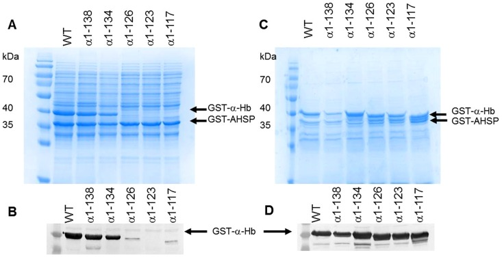 Effect of truncation on the solubility of various truncated α-Hbs. The induced  E.coli  BL21(DE3) cells containing different pGEX-α-AHSP plasmids were disrupted. After centrifugation, soluble fractions were analyzed by (A) SDS-PAGE (12%) and by (B) Western Blotting using anti-α globin antibodies. The insoluble fractions were analyzed by (C) SDS-PAGE (12%) and by (D) Western Blotting using anti-α globin antibodies. Page ruler™ prestained protein ladder (Fermentas Thermo Fisher Scientific) was in the first lane.