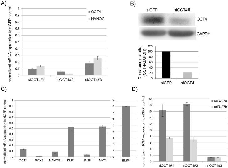 OCT4 knockdown in the hESC line H1 leads to activation of miR-27a and miR-27b expression. Successful OCT4 knockdown in hESC cells transfected twice with siRNA targeting either OCT4 or EGFP 72 h post transfection and confirmed by real-time PCR (A) and Western Blotting (B). (A) Relative OCT4 and NANOG expression of three biological OCT4 knockdown samples (siOCT4#1-3) normalized to the siGFP knockdown control. (B) Western Blot analysis of OCT4 protein levels carried out for sample (siOCT4#1) and siGFP control sample with densitometric quantification (OCT4/GAPDH) (C) Relative expression of pluripotency-associated genes validated by real-time PCR for sample siOCT4#1 normalized to the siGFP knockdown control. (D) miR-27 expression was carried out using TaqMan-based PCR for all three biological siOCT4 samples and normalized to the siGFP control sample.