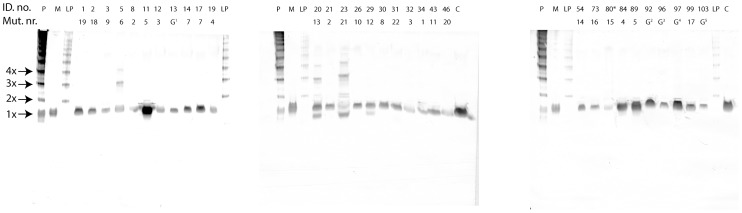 """Native <t>PAGE</t> WB analysis of <t>EDTA</t> plasma samples from 31 HAE patients. """"ID. no."""" depicts in house patient number, """"Mut. no."""" depicts individual mutation numbers, """"P"""" depicts C1-inh polymers formed at 65°C for 35 min, """"M"""" depicts monomeric C1-inh, """"LP"""" denotes low molecular weight C1-inh polymers formed using gel filtration and ion exchange chromatography, """"C"""" depicts an EDTA plasma pool, """"G"""" depicts that the genotype of the patient is unknown., """"*"""" indicates that CPDA plasma was analyzed instead of EDTA plasma."""