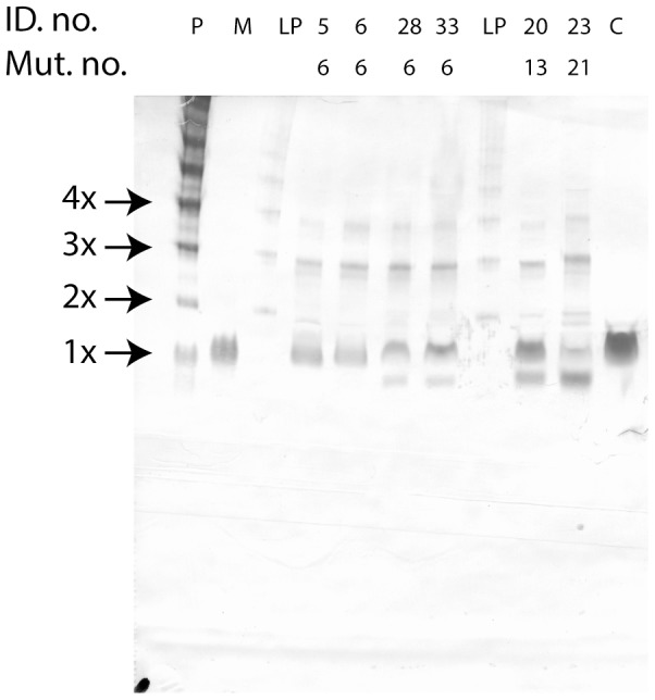 Native PAGE analysis of EDTA plasma samples from six HAE patients, representing three different genotypes. Nomenclature used as for figure 3 .