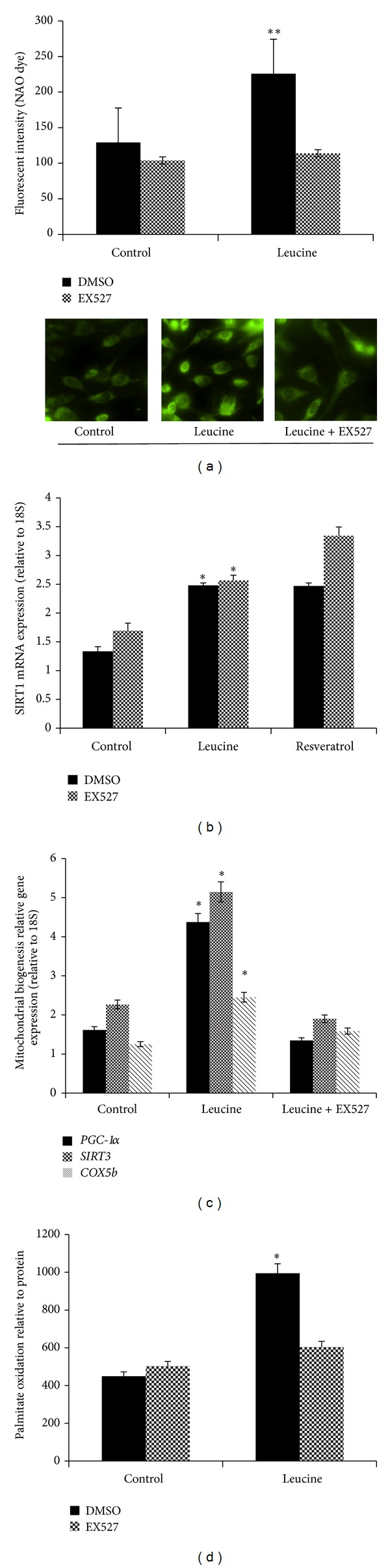 Leucine improves mitochondrial biogenesis in C2C12 myotubes in a SIRT1-dependent manner. (a) Mitochondrial content was measured using NAO (10 μ M) dye after 48-hour leucine (dark bars), leucine plus SIRT1 inhibitor (EX527 25 μ M; grey bars) for 48 hours in C2C12 myotubes. (b, c) SIRT1 activity and mitochondrial biogenesis- related genes ( PGC-1 α , Sirt3, and COX5b ) mRNA levels were measured after the same treatments. The relative SIRT1 activity was normalized to cellular protein level, and mRNA level was normalized to housekeeper gene 18S . (b) Dark bars are DMSO control, grey bars are EX527. (c) Dark bars are PGC-1α , grey bars are Sirt3 ; striped bars are COX5b . (d) Palmitate oxidation level was detected after the same treatment, and the results were normalized to cellular protein for each sample. Data are mean ± SE ( n = 4). Different letters indicate significant differences within a given variable. Dark bars are DMSO control and grey bars are EX527. *Significantly different from controls, and **significantly different from control and EX527 groups with P