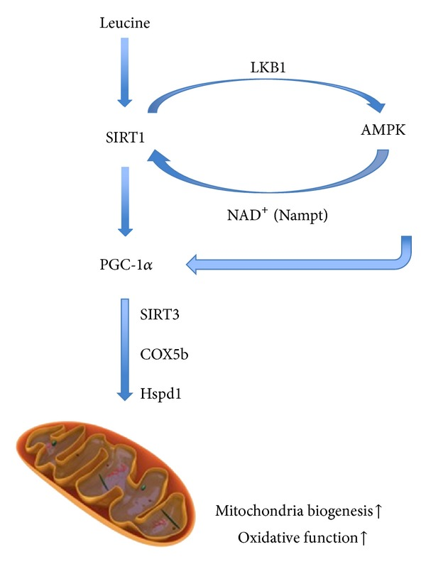 Proposed mechanism of leucine-induced mitochondrial biogenesis. In C2C12 myotubes, leucine treatment leads to activation of SIRT1. SIRT1 then deacetylates and activates LKB1, which subsequently induces AMPK phosphorylation and activation. In turn, activated AMPK could promote SIRT1 activation via intracellular NAD + level by changing expression and activity of Nampt. Activated AMPK and SIRT1 further activate PGC-1 α via phosphorylation and deacetylation, resulting in elevated mitochondrial biogenesis and oxidative function.