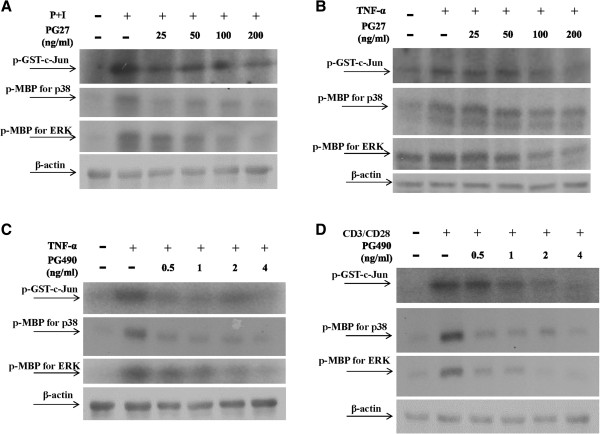 PG27 and PG490 down regulated MAPK activity. T cells at a concentration of 5 × 10 6 /mL were pretreated with various concentrations of PG27 (A and B) or PG490 (C and D) for 2 h and then stimulated with PMA + ionomycin for 30 min (A) , TNF-α for 10 min (B and C) or CD3/CD28 for 30 min (D) . Cell pellets were collected and total cell lysates were immunoprecipitated with anti-JNK, anti-p38 or anti-ERK antibodies. After sequential washes, the substrates (GST-c-Jun for JNK and MBP for both p38 and ERK) and [γ- 32 P]ATP were added individually. After the kinase reaction, the mixture was analyzed by SDS-PAGE. Representative data of at least 3 independent experiments are shown.