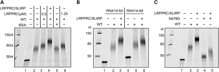 The LRPPRC/SLIRP complex modulates the polyadenylation activity of both wild-type and mutant mtPAP. ( A ) Polyadenylation activity was analysed using wild-type mtPAP (0.55 µ m ) incubated for 1h with the short RNA14 A0 substrate (0.25 µ m ), alone (lane 2), with LRPPRC (0.5 µ m lane 3; 1.25 µ m lane 6), LRPPRC/SLIRP complex (0.5 µ m , lane 4) or BSA (0.5 µ m , lane 5). Products were separated and visualized as described earlier. ( B ) The effect of LRPPRC/SLIRP complex (0.48 µ m ) on polyadenylation by wild-type mtPAP (0.55 µ m ) of an unadenylated (A0, lanes 2 and 3) compared with an oligoadenylated (A8, lanes 5 and 6) RNA14 substrate was analysed. Products were separated and visualized as described earlier. ( C ) The effect of LRPPRC/SLIRP complex (0.48 µ m ; lanes 3 and 5) on polyadenylation by p.N478D mutant (0.55 µ m ; lanes 4–5) poly(A) polymerase was compared with wild-type (0.55 µM; lanes 2–3) enzyme. The short unadenylated RNA14 A0 substrate (0.25 µ m ) was used. Products were separated and visualized as described earlier.