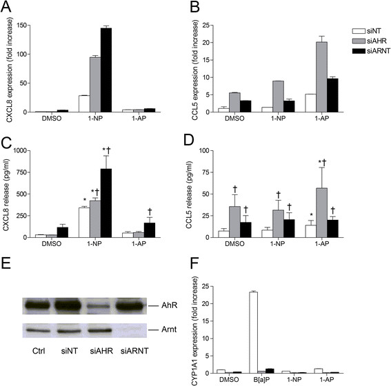 """AhR and Arnt differentially regulate CXCL8 and CCL5 responses in 1- NP- or 1- AP- exposed BEAS- 2B cells. Cells were transfected with siRNA against AhR (siAHR) and Arnt (siARNT) or non-targeting control siRNA (siNT), and exposed to 20 μM 1-NP, 1-AP or vehicle (DMSO) alone. CXCL8 (A) and CCL5 (B) gene expression were measured after 6 h by real-time PCR. CXCL8 (C) and CCL5 (D) protein levels in the medium were measured by ELISA after 18 h exposure as described under """"Materials and methods"""". Efficiency of transfection was assessed by Western blotting (E) as well as expression of CYP1A1 after 6 h exposure to 20 μM B[a]P, 1-NP and 1-AP, by real-time PCR (F) . The results are expressed as mean ± SEM (A/B/F: n = 1 (triplicate determinations); C/D: n ≥ 3; E: representative blots, n ≥ 3). *Significantly different from unexposed controls; †Significantly different from cells transfected with non-targeting siRNA."""
