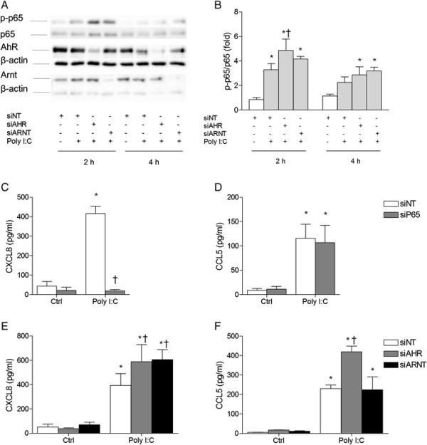 """AhR and Arnt differentially regulate CXCL8 and CCL5 responses as well as p65 phosphorylation in Poly I: C- exposed BEAS- 2B cells. Cells were transfected with siRNA against p65 (siP65), AhR (siAHR), Arnt (siARNT) or non-targeting control siRNA (siNT), and exposed to 10 μg/ml Poly I:C. Intracellular protein levels of total and phospho-p65 (Ser536) as well as AhR and Arnt were detected by Western blotting after 2 and 4 h exposure, as described under """"Materials and methods"""". The figure displays representative blots (A) , as well as relative changes in phospho-p65 compared to total p65 quantified by densitometric analysis of the Western blots (B) . CXCL8 (C and E) and CCL5 (D and F) protein levels in the medium were measured by ELISA after 18 h exposure, as described under """"Materials and methods"""". The results are expressed as mean ± SEM (n ≥ 3). *Significantly different from unexposed controls; †Significantly different from cells transfected with non-targeting siRNA."""