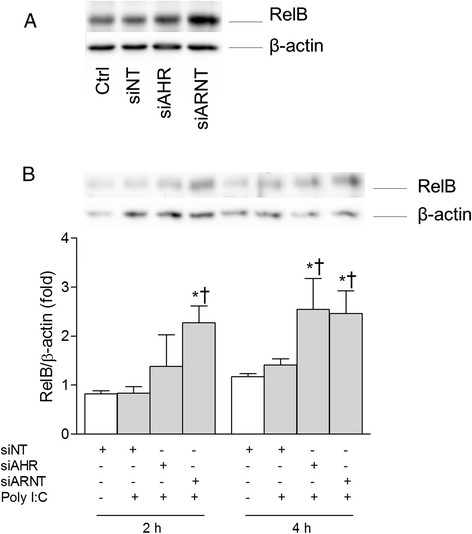 """Depletion of AhR and Arnt increases RelB levels in Poly I: C - exposed BEAS- 2B cells. Cells were transfected with siRNA against AhR (siAHR), Arnt (siARNT) or non-targeting control siRNA (siNT), and exposed to 10 μg/ml Poly I:C for 2 and 4 h. Intracellular protein levels of RelB and β-actin were detected by Western blotting as described under """"Materials and methods"""". The figure displays representative blots of RelB levels in unexposed cells (A) and Poly I:C-exposed cells (B) . The graph depicts relative changes in RelB (B) compared to β-actin quantified by densitometric analysis of the Western blots. The results are expressed as mean ± SEM (n = 3). *Significantly different from unexposed controls; †Significantly different from cells transfected with non-targeting siRNA."""