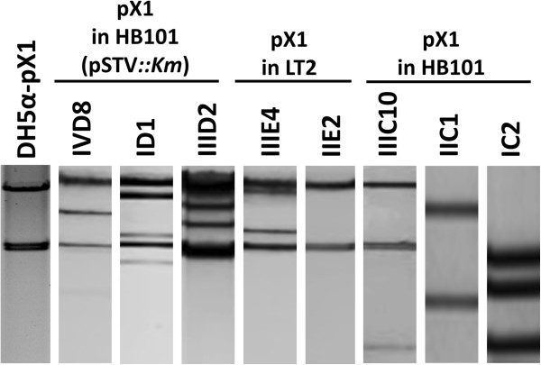 Representative restriction profiles for pX1 + CMY transconjugants. Double digestions with BamH I- Nco I were generated for the wild-type YU39 pX1 (DH5α-pX1) and representative transconjugant plasmids. The nomenclature of the transconjugants is shown in Table 3 .