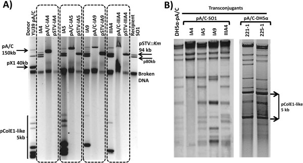 Examples of pA/C transconjugants recovered in SO1 pSTV ::Km and DH5α. Panel A) shows the plasmid profiles of four different transconjugants in SO1 marked within dotted rectangles. The donor YU39 pA/C and the recipient SO1pSTV ::Km strains are in the first and last lanes, respectively. Within each dotted rectangle, in the first lane are the SO1 transconjugants; in the second and third lanes the DH5α transformants for the pA/C and pSTV of each transconjugant are shown. Panel B) displays examples of Pst I restriction profiles of pA/C transconjugants of SO1 and DH5α compared wit h wild-type YU39 pA/C (DH5α-pA/C).