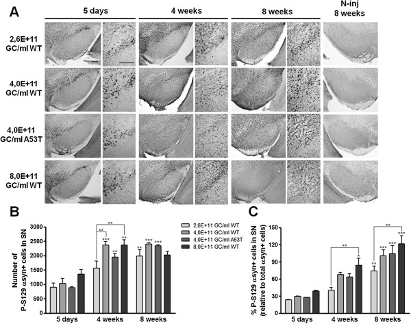Phosphorylation of α-synuclein at S129 increases over time in a dose-dependent manner after rAAV2/7-α-synuclein delivery. (A) Representative images of P-S129 α-synuclein expression in the SN of mice injected with 3 different WT α-synuclein vector doses and a unique A53T α-synuclein vector dose show that overexpression of WT α-synuclein induces a progressive and dose-dependent increase over time in P-S129 α-synuclein. Lack of immunoreactivity in the contralateral SN at 8 weeks after injection when expression was maximal. Right panels are magnifications of the overview (left panels). Scale bars = 200 μm. (B) Stereological quantification of the number of P-S129 α-synuclein positive cells in the injected SN after 5 days, 4 weeks and 8 weeks. (C) Percentage of P-S129 α-synuclein positive cells in the SN at 5 days, 4 weeks and 8 weeks post-injection. Asterisks (*) depict significant increase respective to 5 days, unless specified otherwise. 5 days 4,0E + 11 GC/ml WT/A53T: n = 3; 5 days 2,6/8,0E + 11 GC/ml WT: n = 4; 4 weeks: n = 4; 8 weeks: n = 4.