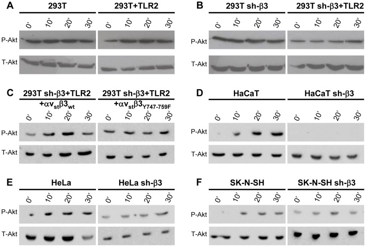 HSV-induced Akt phosphorylation dependent on αvβ3-integrin, its C-tail, and TLR2. (A, B, D–F) Akt phosphorylation requires β3-integrin and TLR2. wt or sh-β3 cells 293T (A, B), HaCaT (D), HeLa (E), SK-N-SH (F) cells were transfected or not with plasmid encoding TLR2-Flag, silenced for β3-integrin as indicated (sh-β3), exposed to R7910 (60 PFU/cell) for 10, 20 and 30 min. Cells were lysed and total proteins were subjected to SDS-PAGE. Phosphorylated and total Akt were detected with PAb to phospho-Akt (Ser473) (P-Akt) or PAb to total Akt (T-Akt). (C) β3-integrin silenced (sh-β3) 293T were transfected with wt-β3-integrin or β3 Y747-759F plus αv-integrin, and TLR2. Cells were cultured in pre-exhausted medium [8] for 48–72 h from 12 after transfection, and then exposed to R7910 (60 PFU/cell) for 10, 20, 30 min, or uninfected (0′). Total cell lysates were subjected to SDS-PAGE and WB for P-Akt or T-Akt.