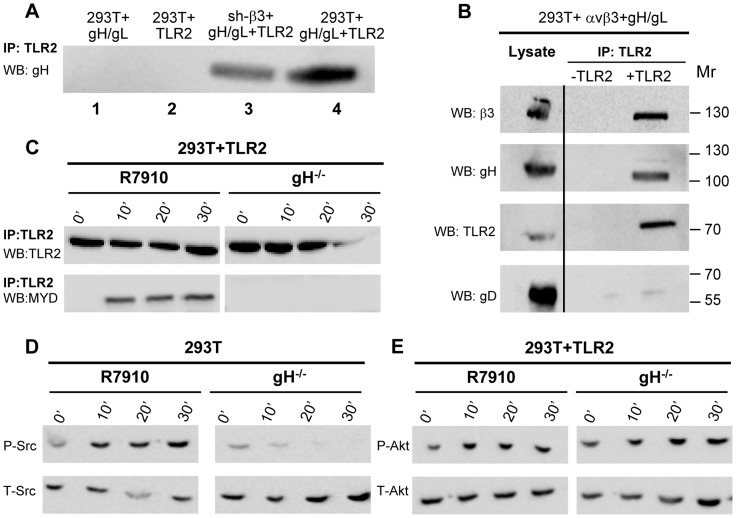Interaction of gH with TLR2 and β3-integrin, and failure of gH −/− virions to elicit the innate response. (A) Co-immunoprecipitation of gH by TLR2 occurs in β3-integrin–silenced cells. 293T cells were transfected with plasmids encoding gH/gL (lane 1), TLR2-Flag (lane 2), gH/gL plus TLR2-Flag (lane 4). sh-β3 293T cells were transfected with plasmids encoding gH/gL plus TLR2-Flag (lane 3). TLR2-Flag was immunoprecipitated with anti-Flag MAb (IP: TLR2). The co-immunoprecipitated gH was revealed by WB with PAb to gH/gL. (B) 293T cells were transfected with plasmids encoding TLR2-Flag, αv-integrin+β3-integrin, gH+gL. Negative controls lacked TLR2. TLR2-Flag was immunoprecipitated with anti-Flag MAb (IP: TLR2). The co-immunoprecipitated gH and β3-integrin were revealed by WB with PAb to gH/gL, MAb to TLR2-Flag, and PAb to β3-integrin. Figures to the right indicate the migration position and M r of molecular weight markers. (C–E) Failure of gH −/− virions to induce the MYD88 recruitment to TLR2 (C), phosphorylation of Src (D), and phosphorylation of Akt (E). 293T cells, transfected or not with TLR2-Flag, were exposed to R7910 or gH −/− virions for 10, 20, 30 min, or unexposed (0′). (C) TLR2-Flag was immunoprecipitaed with anti-Flag MAb. Co-immunoprecipitated MYD88 was detected by WB, as detailed in the legend to fig. 2A . (D, E) Total cell lysates were subjected to SDS-PAGE and WB for P-Src and T-Src (D), or for P-Akt and T-Akt (E).